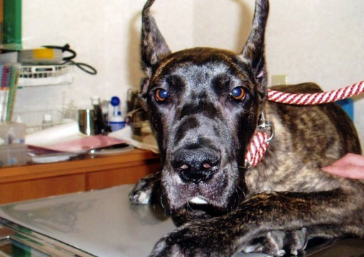 Image result for 犬 Great Dane 泣く